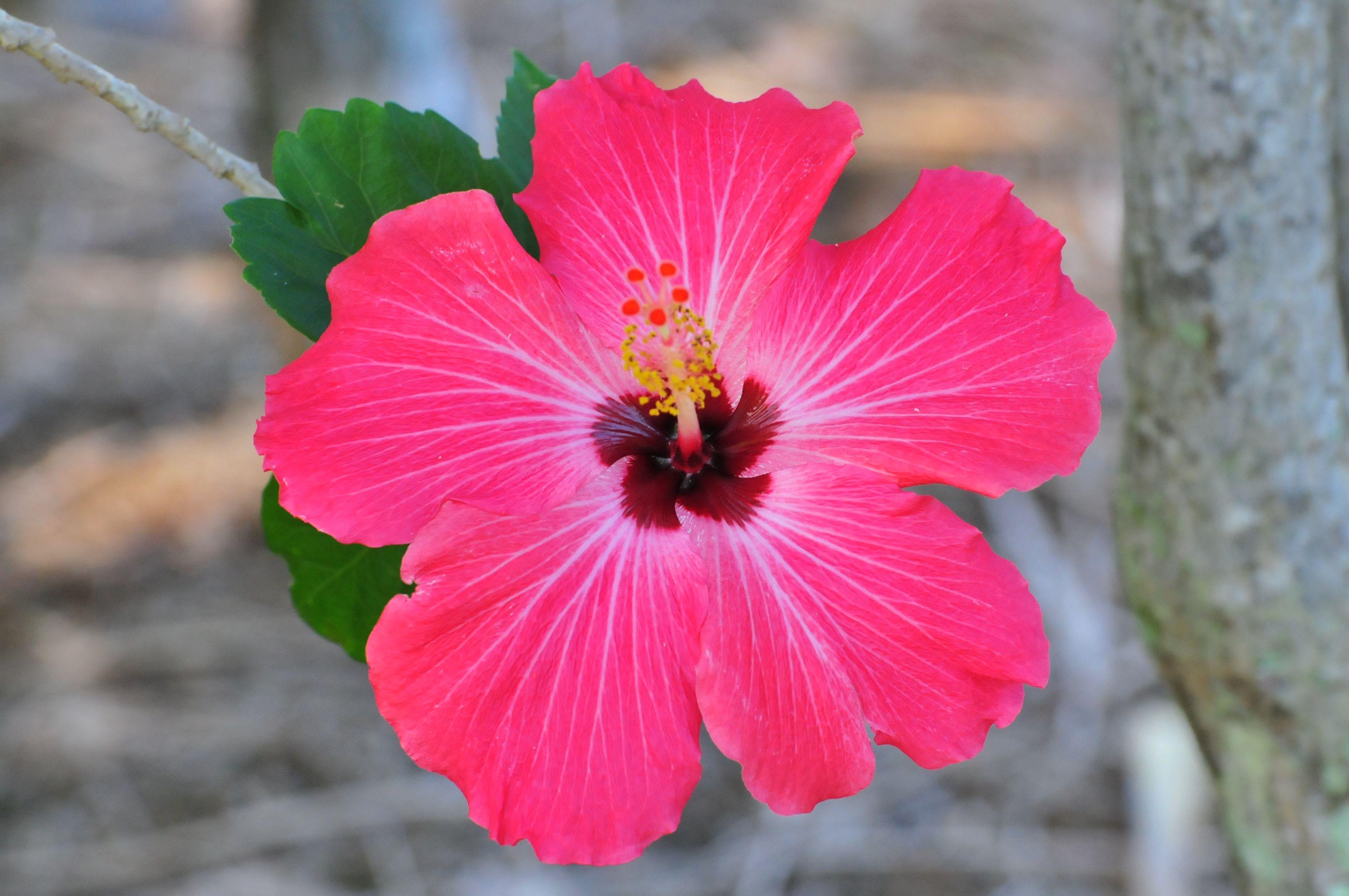 Hawaiian flowers hawaiian flowers luv it gawaii pinterest tropical flowers of hawaii izmirmasajfo Image collections