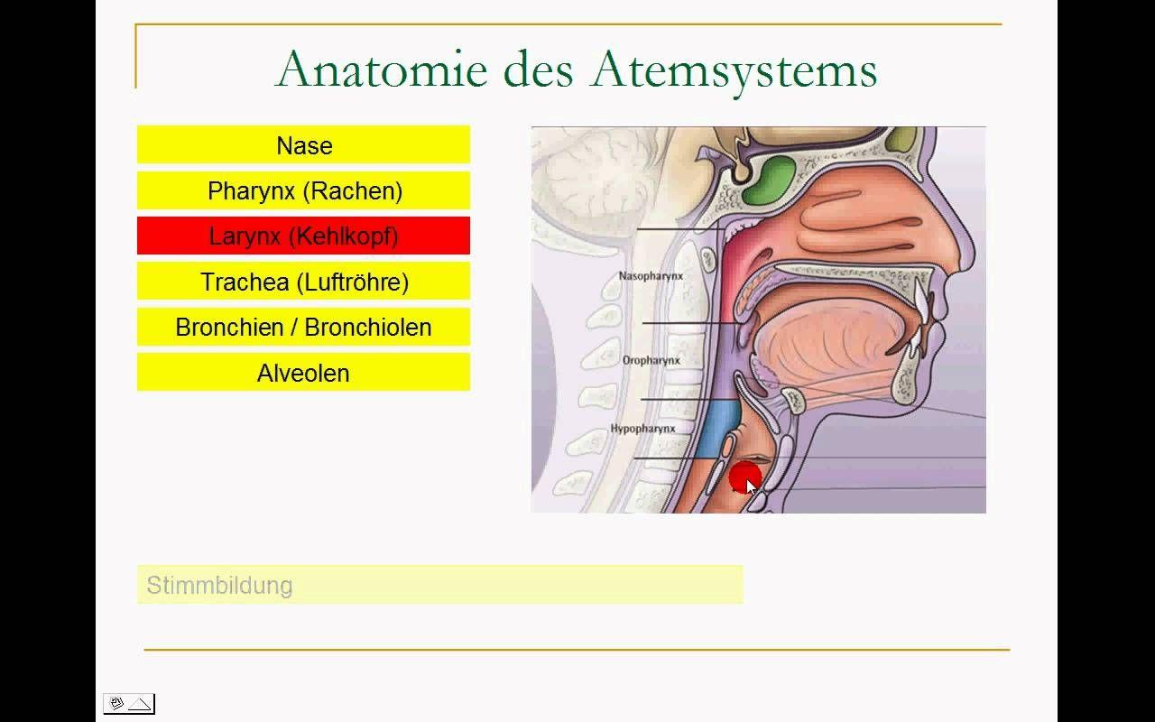 Erfreut Atmungssystem Anatomie Und Physiologie Notizen Ideen ...
