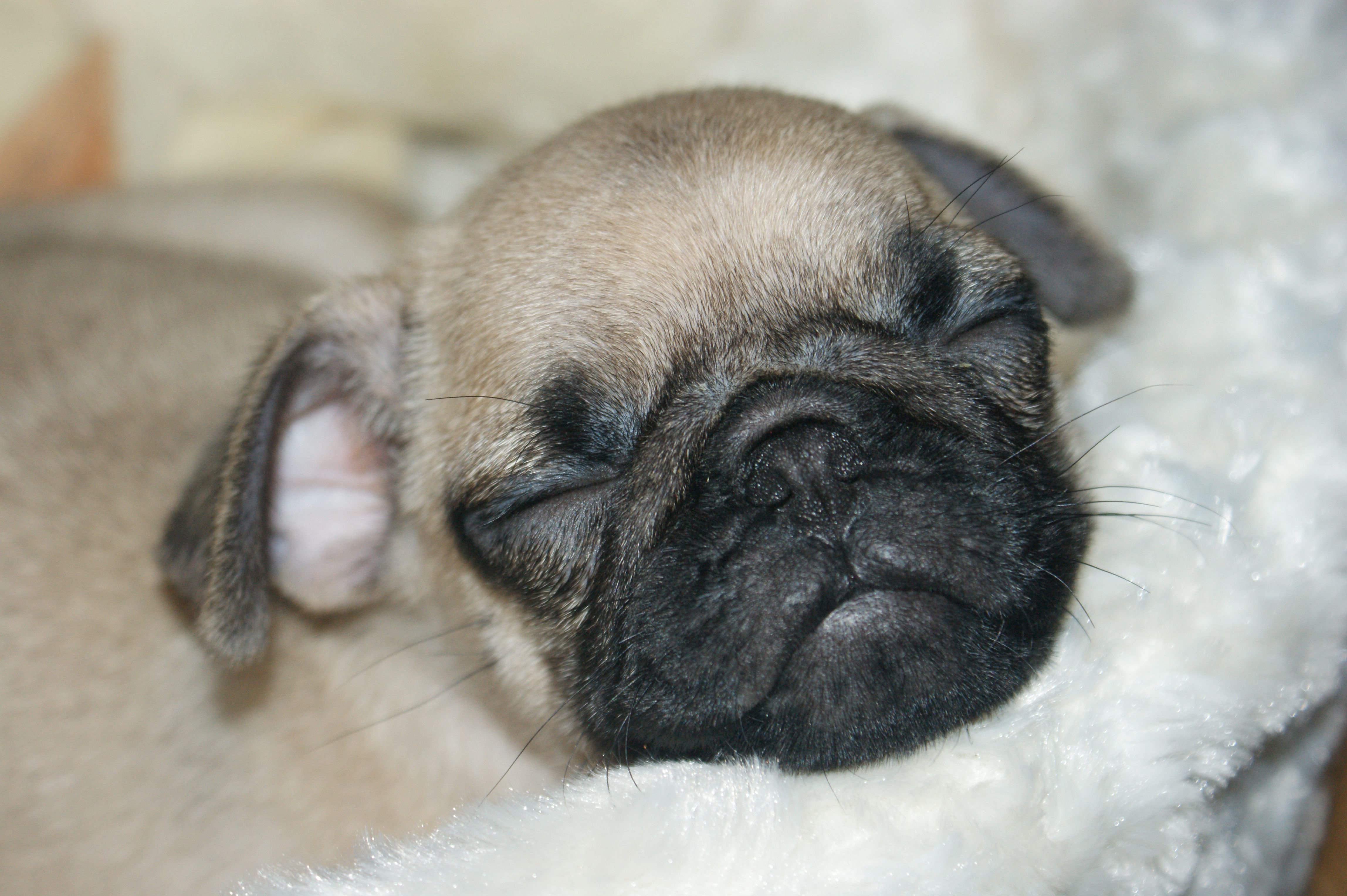 Pugs My Beautiful Baby Girl Pug Puppy 2 Months Old Pug Puppy