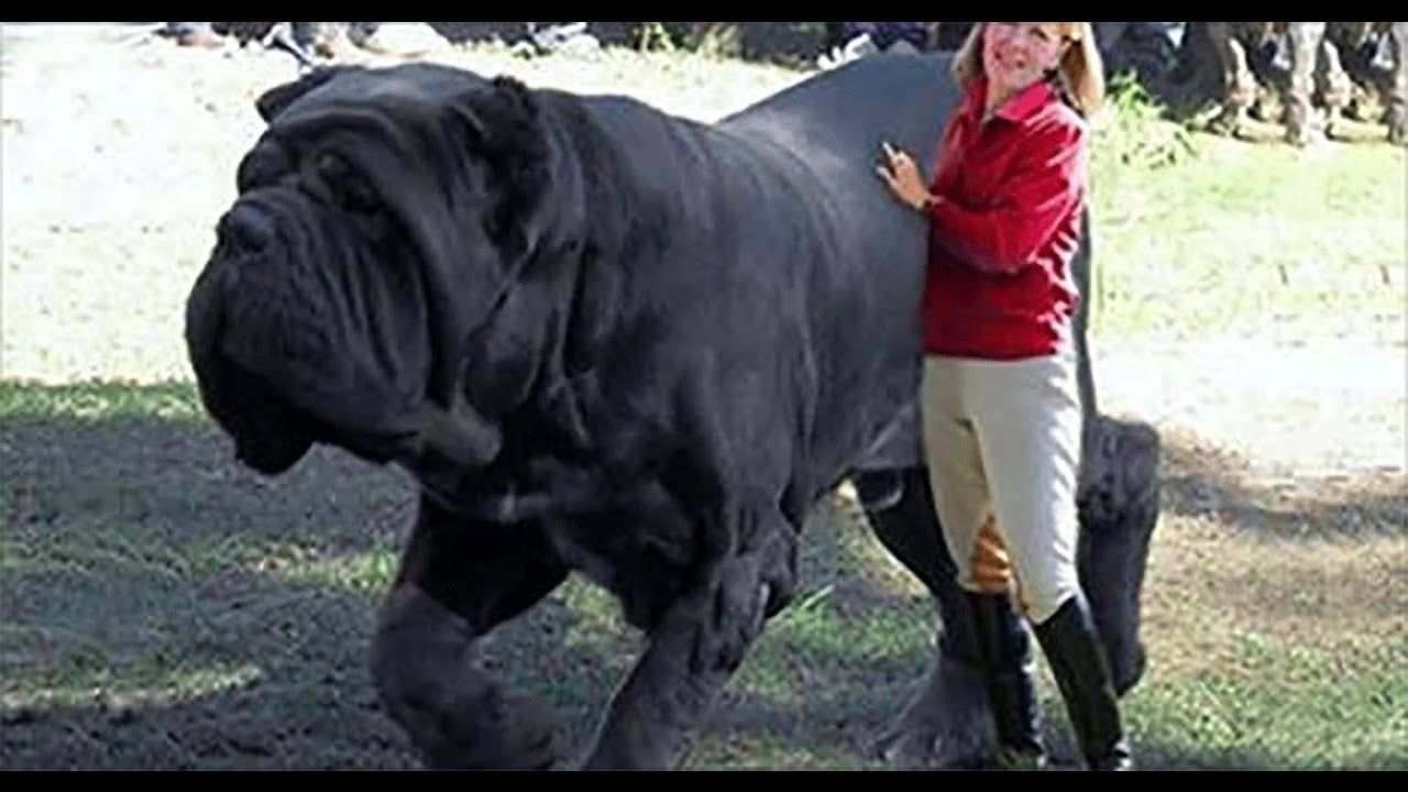 Largest Dog In The World Guinness 2017