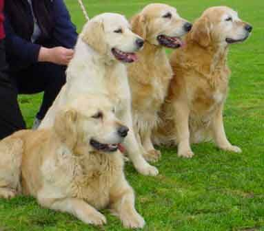 Golden Retriever Reviews And Pictures Retriever Puppy Dog