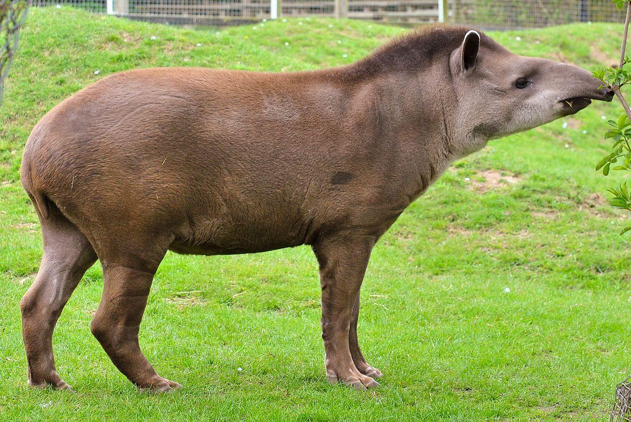 Anta Tapir Tapirus Terrestris Com Imagens Animais Lindos