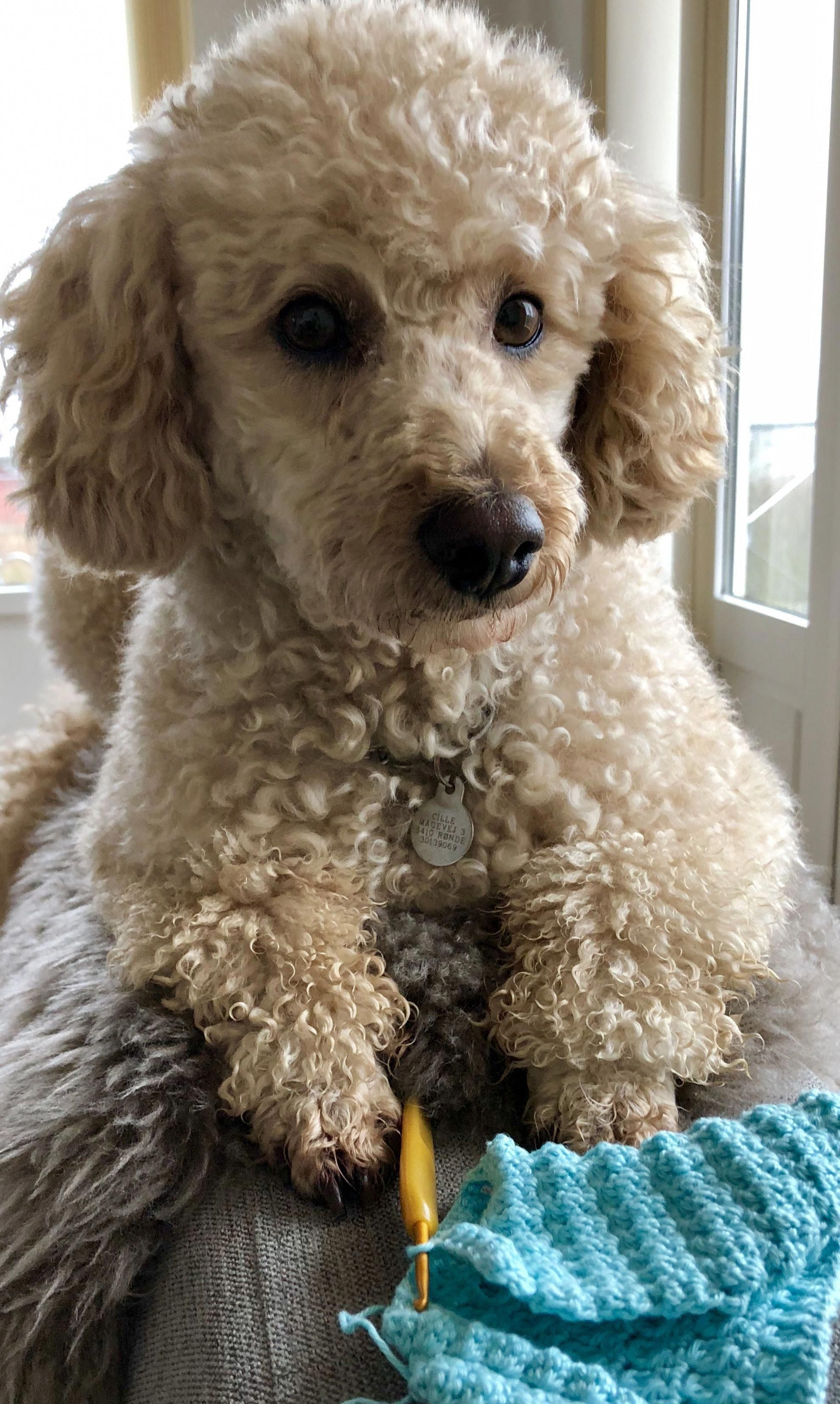 Discover The Very Smart Poodle Puppies Poodleparty Poodlepower