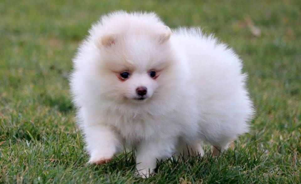 Cute White Pomeranian Puppies For Sale Price Pomeranian Puppy White Pomeranian Puppies Pomeranian Puppy For Sale