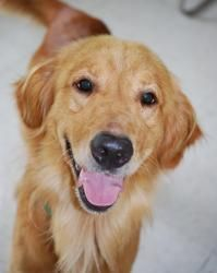 Adopt Eric On Dogs Golden Retriever Golden Retriever Dogs