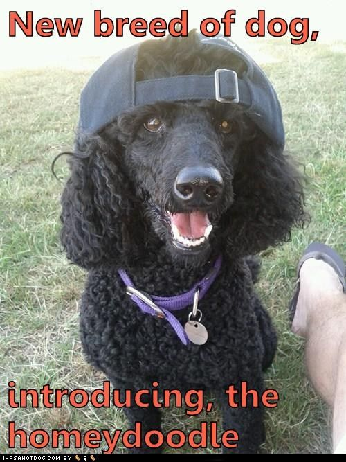 New Breed Of Dog Introducing The Homeydoodle Dogs Funny Dogs
