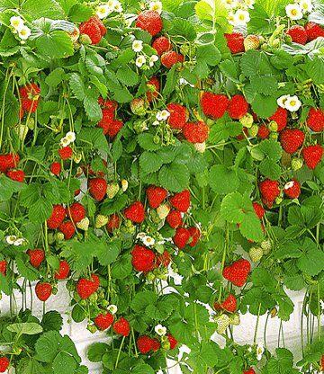 Hange Erdbeere Hummi 1a Qualitat Baldur Garten Erdbeeren Garten Pflanzideen Erdbeerpflanzen