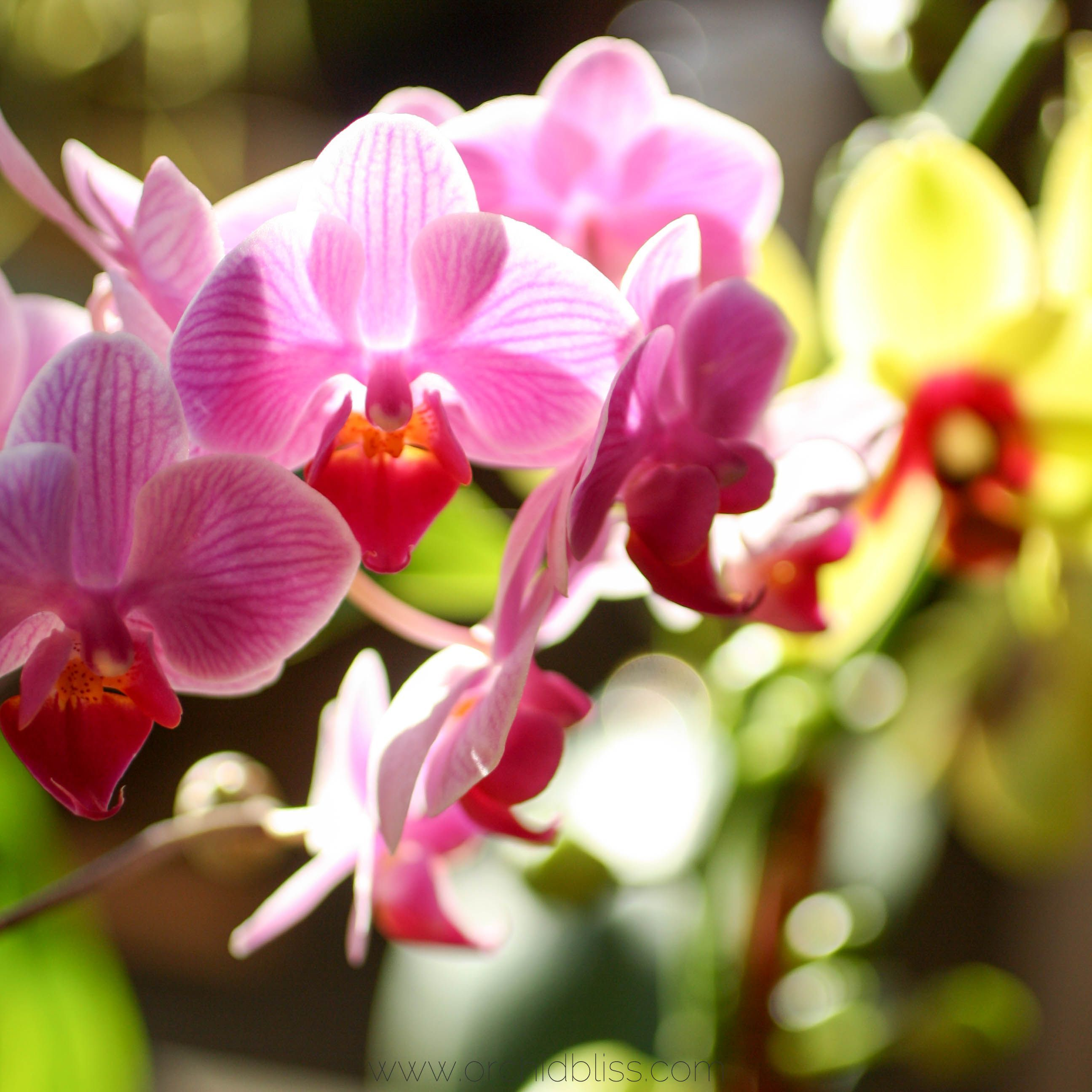 Having trouble reblooming your orchid perhaps your orchid needs