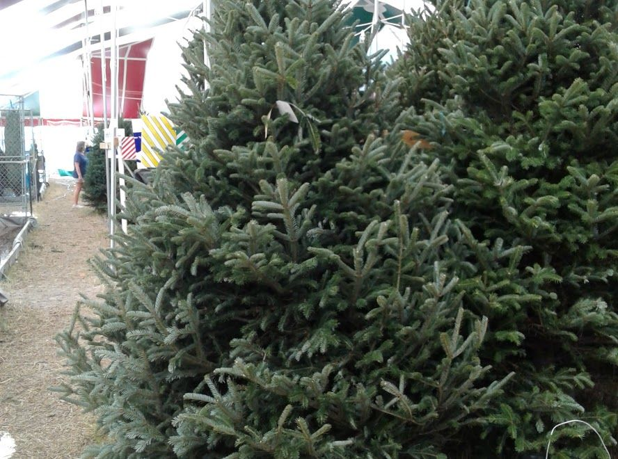 live christmas trees for sale near me - Google Search ...