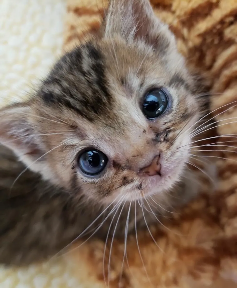 Pint Sized Kitten So Happy To Have Shoulder To Sit On After He Was Rescued Love Meow In 2020 Cute Cats And Kittens Kitten Cute Cats