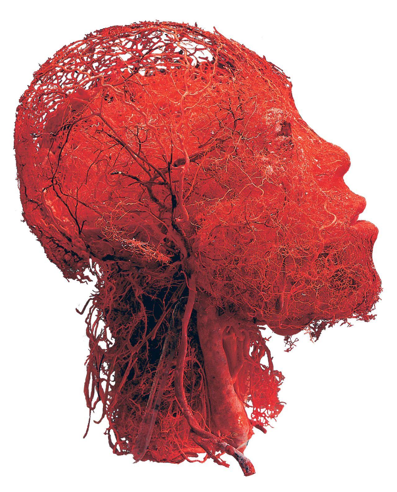 Los vasos sanguíneos de la cabeza y el cerebro (Gunther von Hagens ...