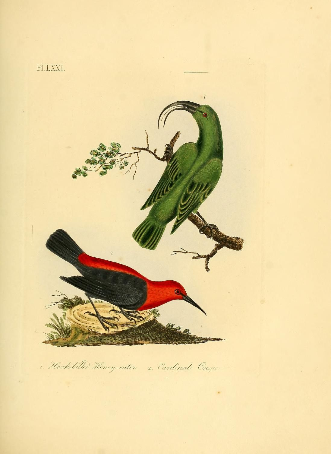 A general history of birds By John Latham ... Published 1821 by Printed by Jacob and Johnson, for the author, sold in London by G. and W.B. Whittaker [etc.] in Winchester [Eng.] . Written in English.