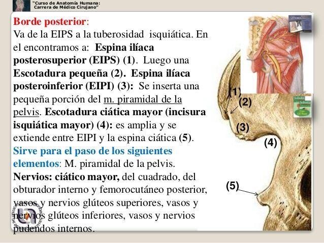 "Curso de Anatomía Humana: Carrera de Médico Cirujano""Borde posterior ..."