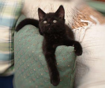 please adopt a black kitty! yes! pick me, pick me!