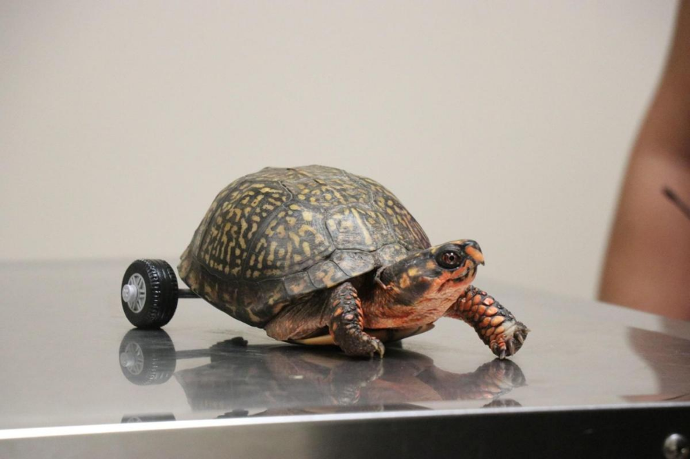 This Turtle Lost Both His Back Legs So Vets Built Him A Very Fancy