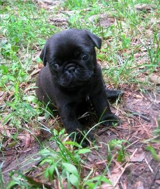 Akc Champion Blood Line Pug Black Puppies For Sale Cheeto 6 Wks