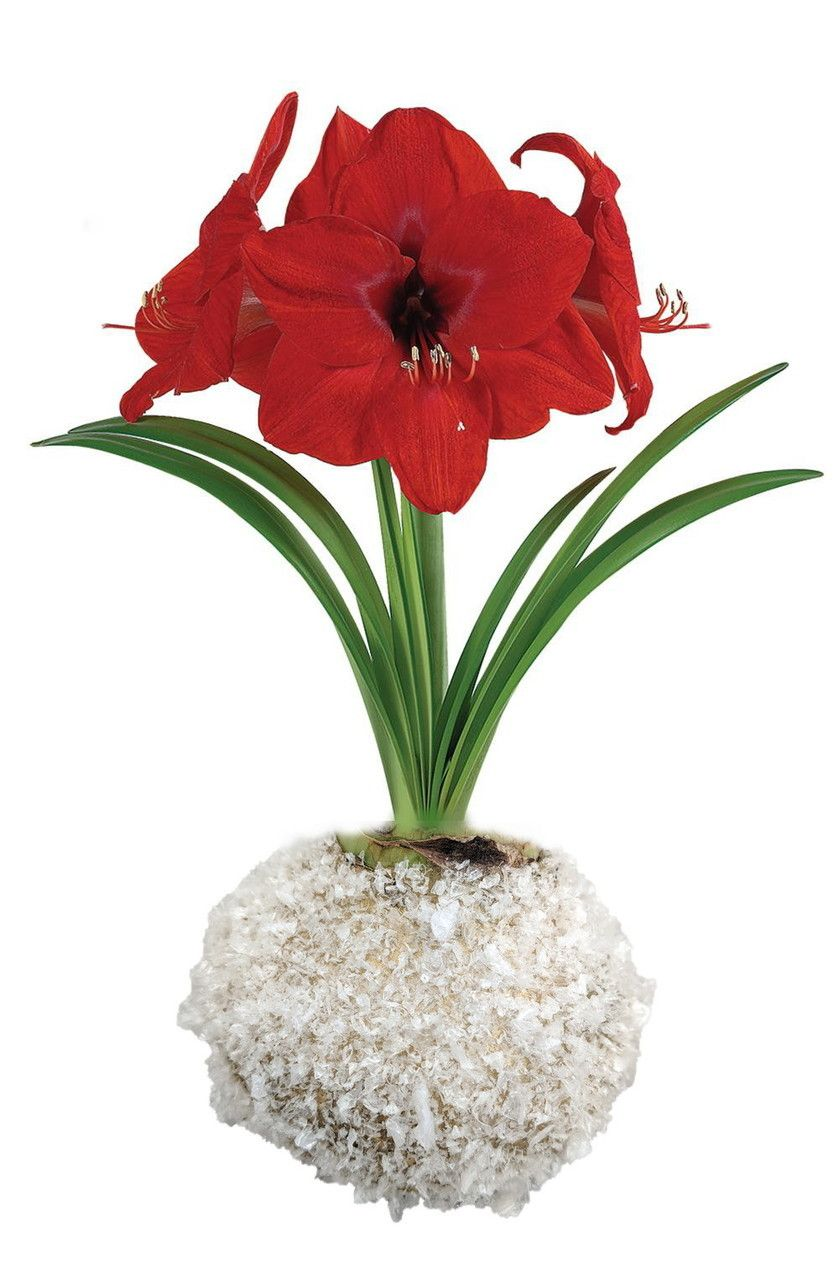 Gold Snow Glitter Wax Amaryllis Bulb No Soil Water Needed To Bloom Hirt S Gardens Amaryllis Bulbs Amaryllis Bulb