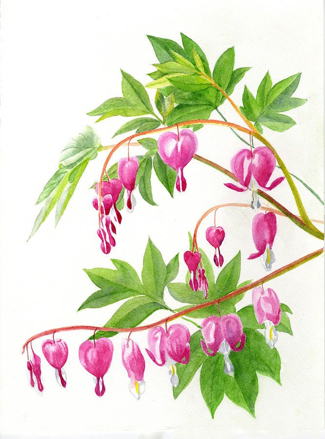 Bleeding Hearts 1 Painting By Sharon Freeman Bleeding Hearts 1 Fine Art Prints And Posters For Sale Flower Painting Flower Drawing Watercolor Flowers