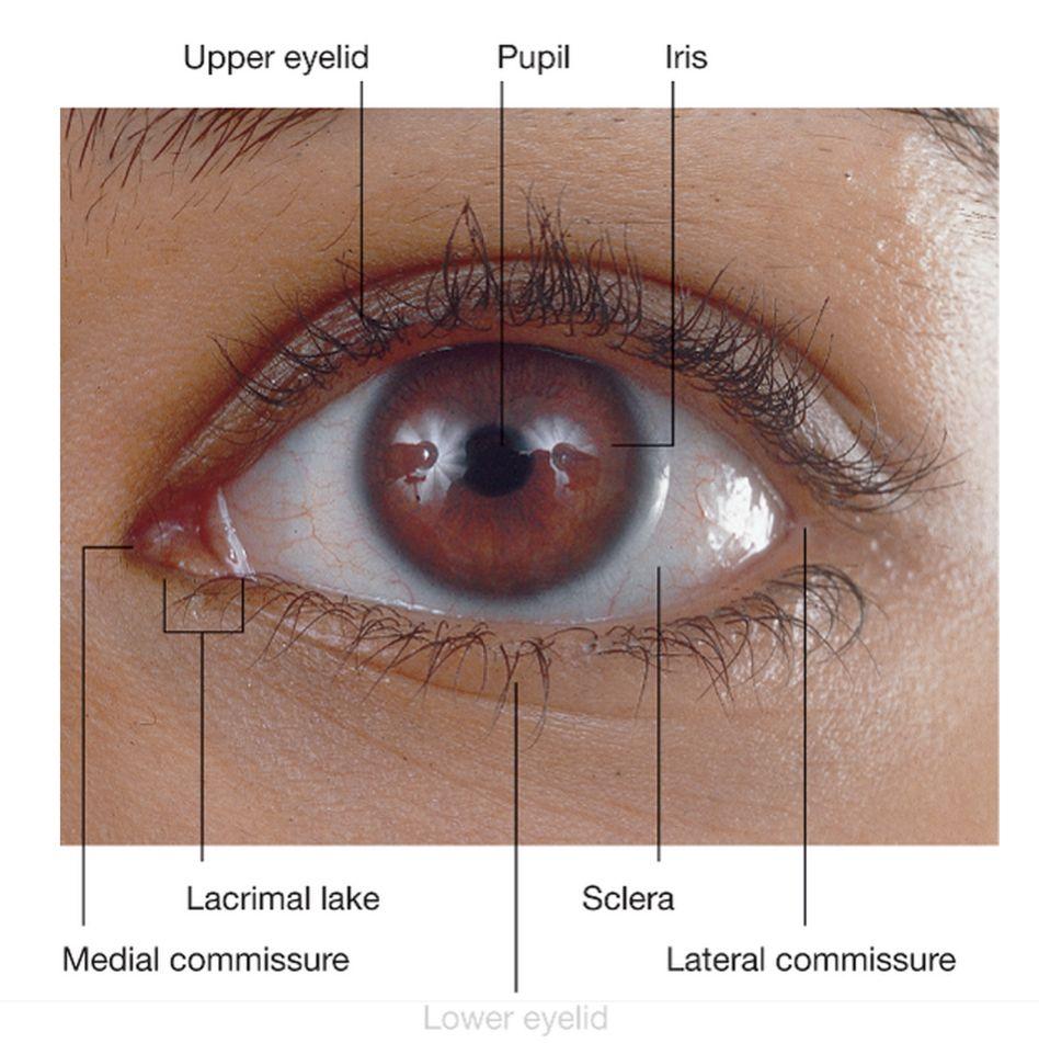 Lacrimal caruncle google craters eyes kneecaps masks lacrimal caruncle google pooptronica Images
