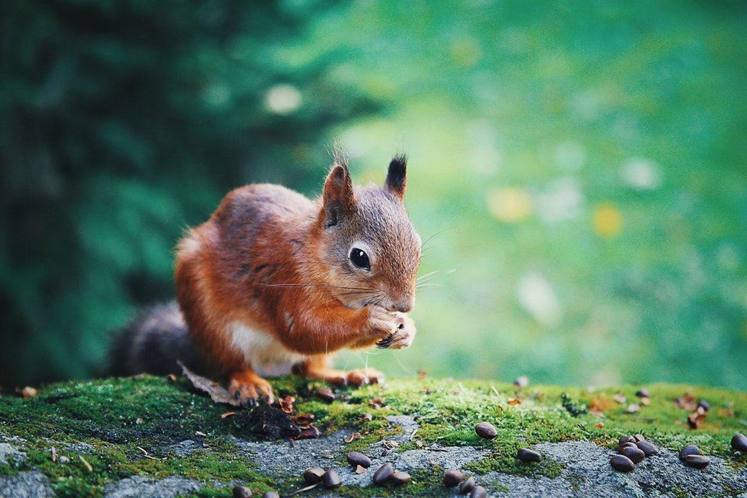 Red squirrel photo by Uljana Maljutina (anajlu) on