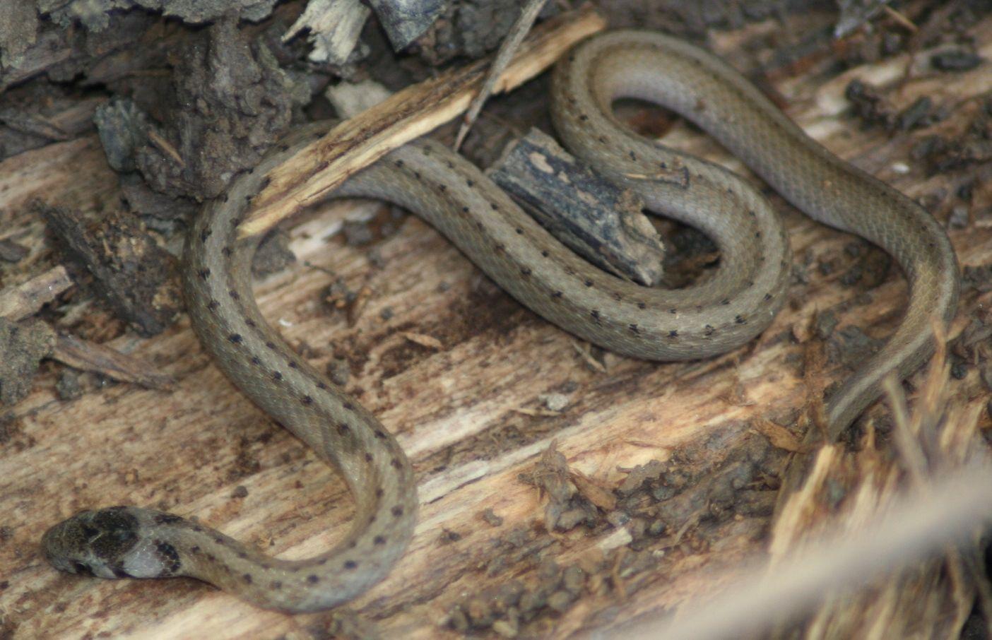 Snake Brown Snake Storeria Dekayi Subfamily Natricinae