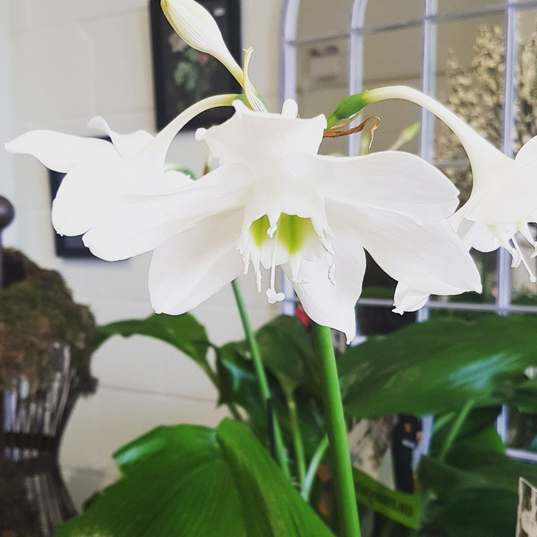 Plant Of The Month Is The Very Beautiful Eucharis Grandiflora Or
