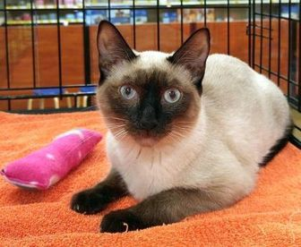Siamese Domestic Shorthair Mix Cat For Adoption In Powder Springs Georgia Kahlua Cat Adoption Kitten Adoption Pets