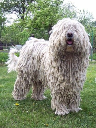 Komondor Large White Colored Hungarian Dog With A Long