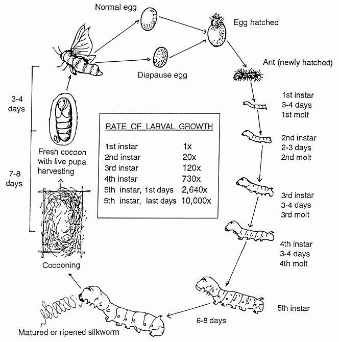 silkworm life cycle chart | Silkworm life cycle, Life cycles ...