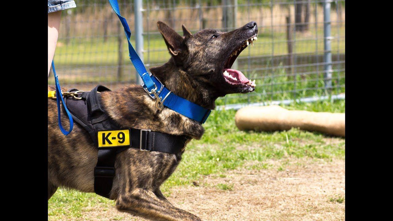 Protection Dog Training Clip Dutch Shepherd X Belgian Malinois