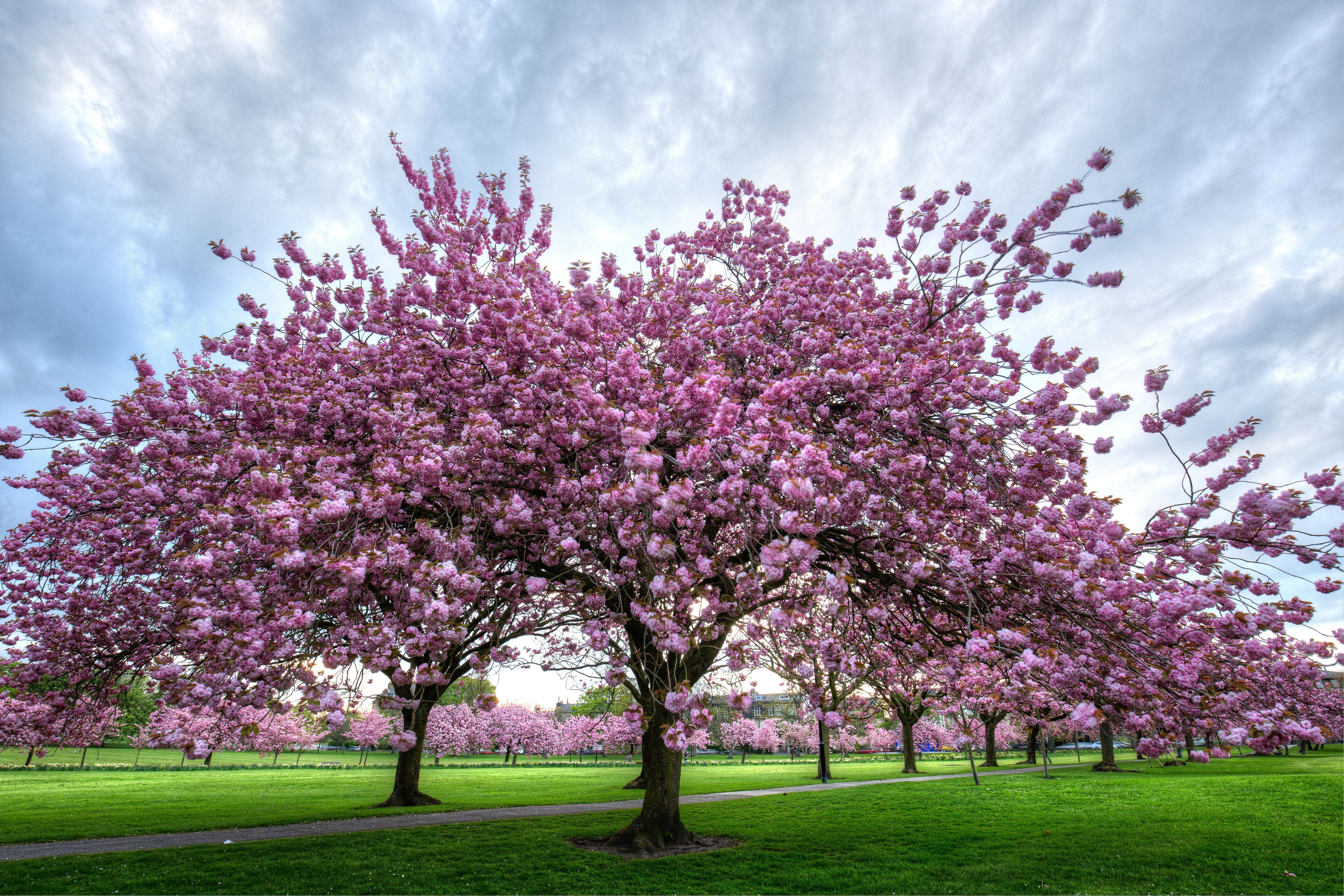 Interesting Facts About Cherry Trees Flowering Cherry Tree Black Cherry Tree Ornamental Cherry