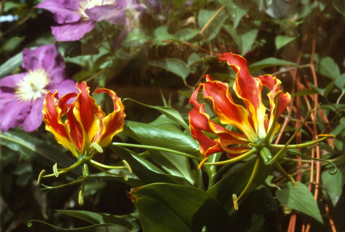 A South African Flower Named For Rothschild Wow The Wonders Of