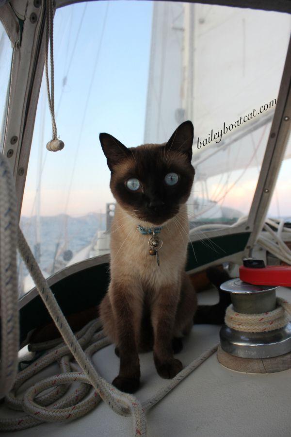 Sailor Selfie Adventure Cat Cats Siamese Cats