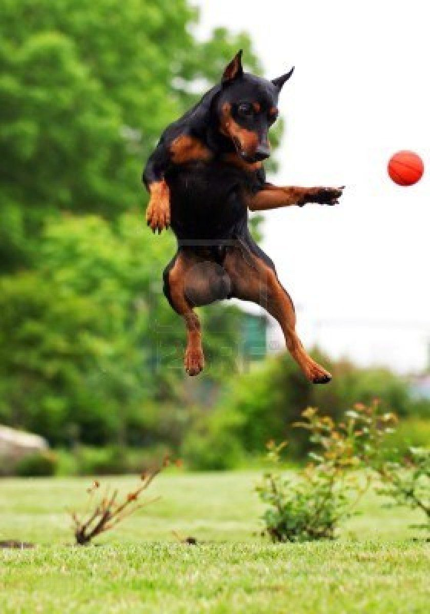 Jumping Dog Archivio Fotografico Jumping Dog Dogs Animals