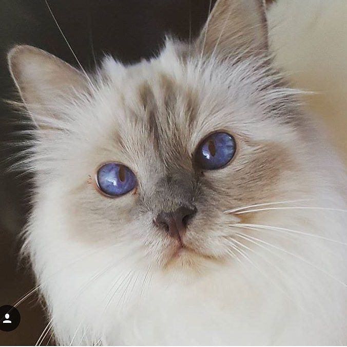 Pin By Gulay Ozsoy On Birman Cats And Kittens Cat Adoption Kitten Adoption Birman Kittens
