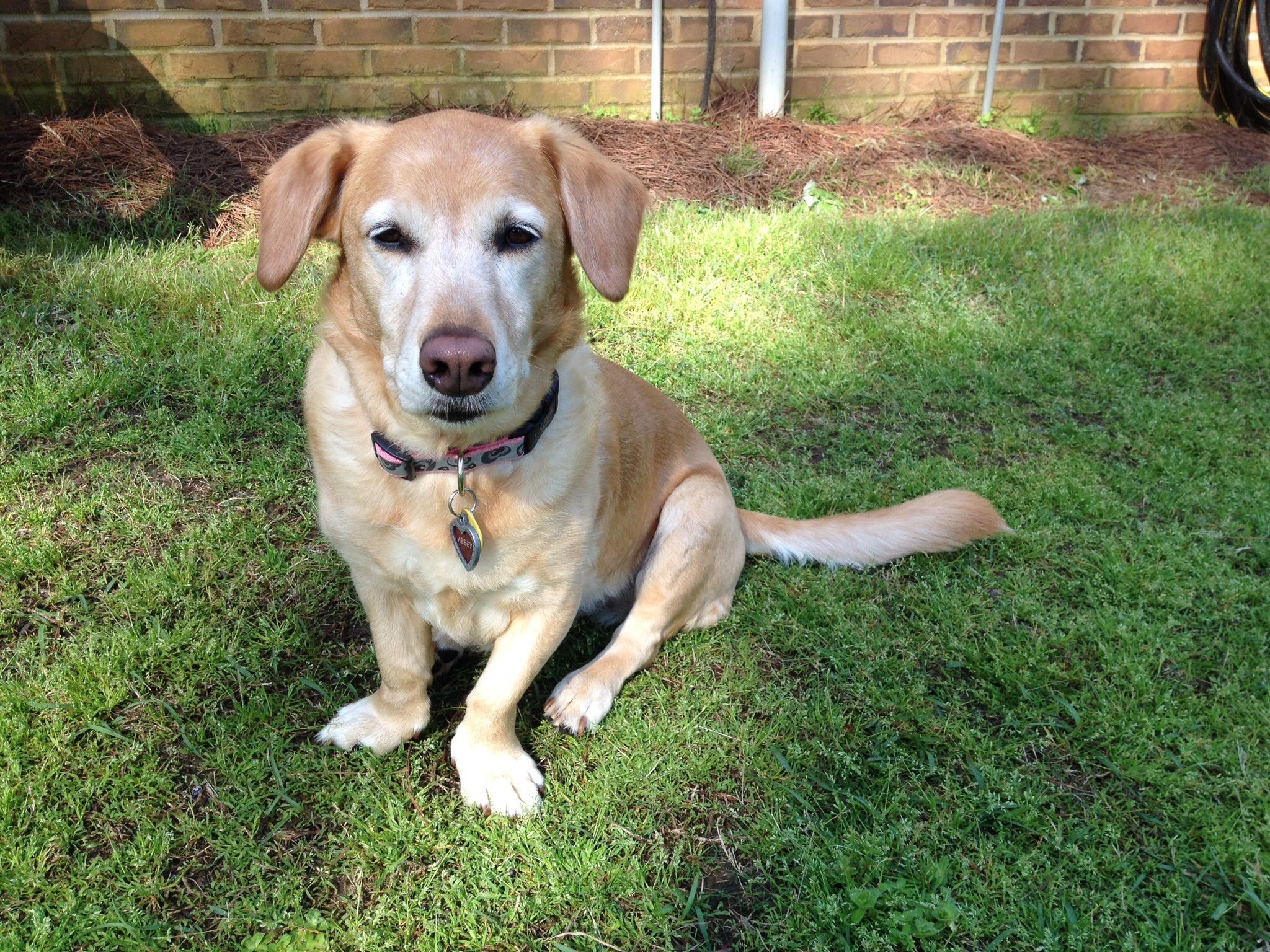 My Beautiful Girl Abbey Yellow Lab Basset Hound Mix Basset