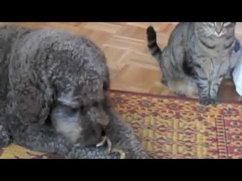 Benny Tests A Mr Chewy Buffalo Treat The Cat Threatens But Chickens Out Animals Beautiful Labradoodle Puppy Labradoodle