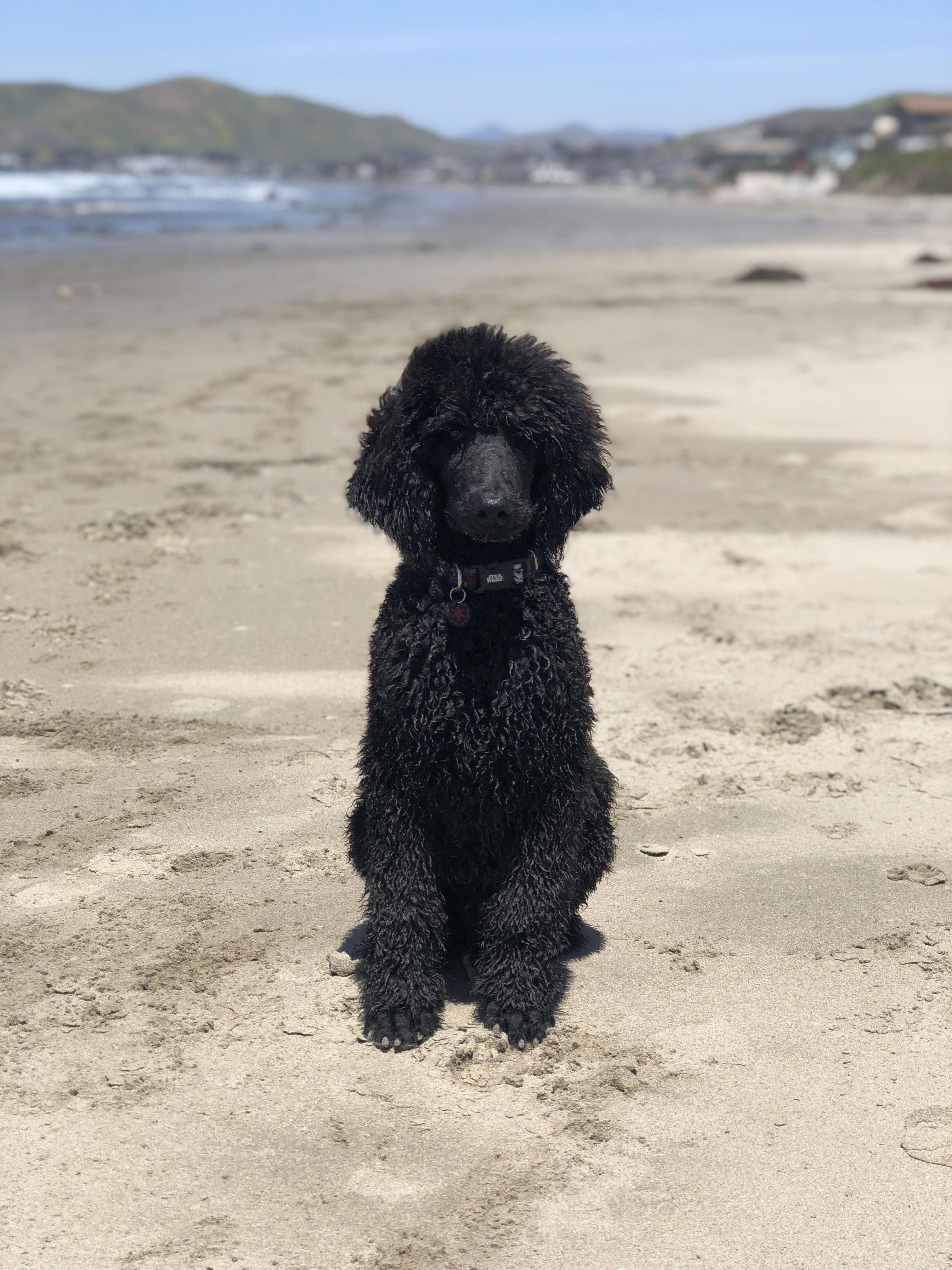 Poodles Smart Active And Proud Standard Poodle Haircuts Black