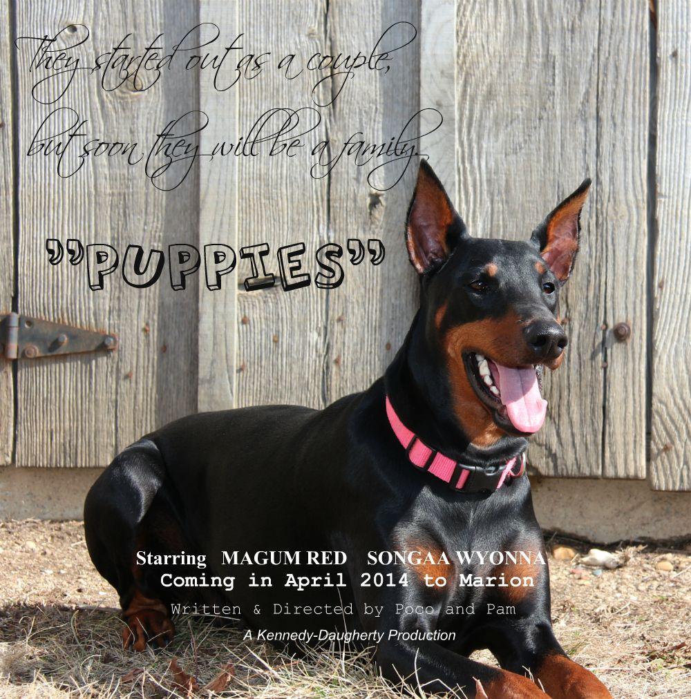 Doberman puppy announcement doberman photo songaa