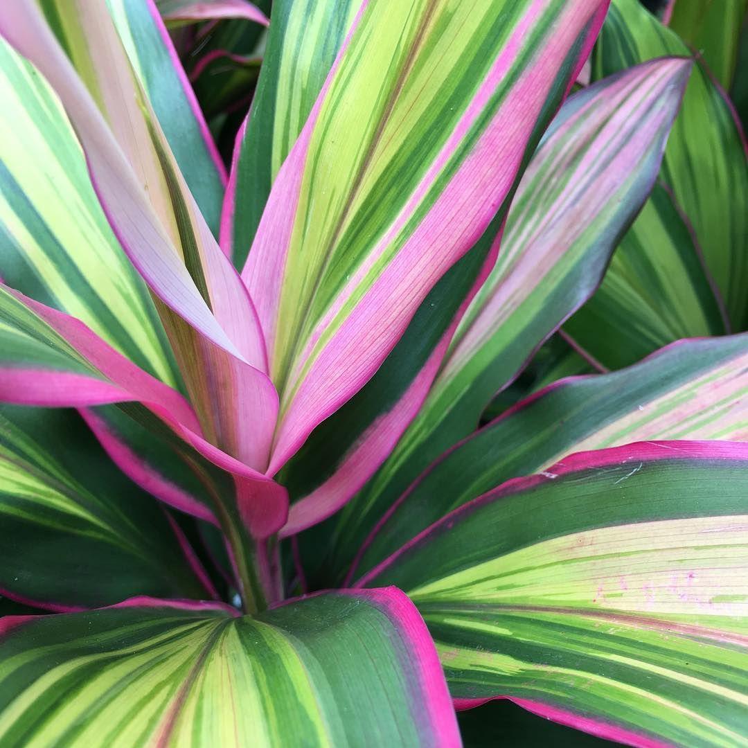 Cordyline Fruticosa Kiwi Fleurs Jardins Plante