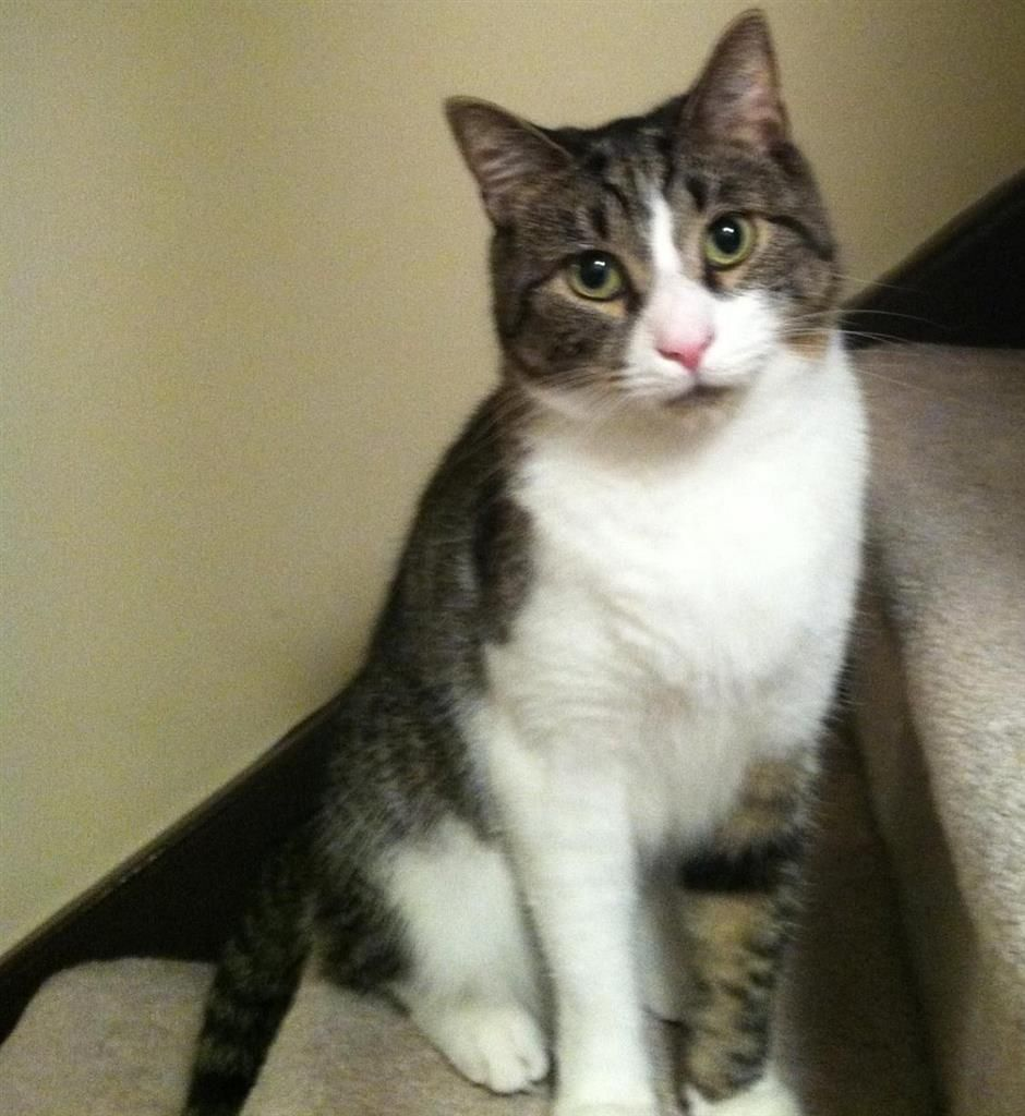 Lost Cat Domestic Short Hair Newington Ct United States 06111 Grey And White Cat Tabby Cat Lost Cat