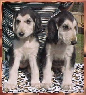 Aaawww Mahadi Afghan Hound Breeder Puppies Dogs For Sale Austin