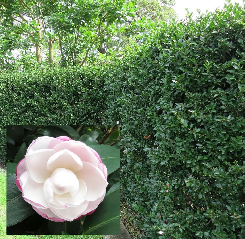 Camellia Sasanqua Pure Silk Plant With White Flowers Hedge Screen
