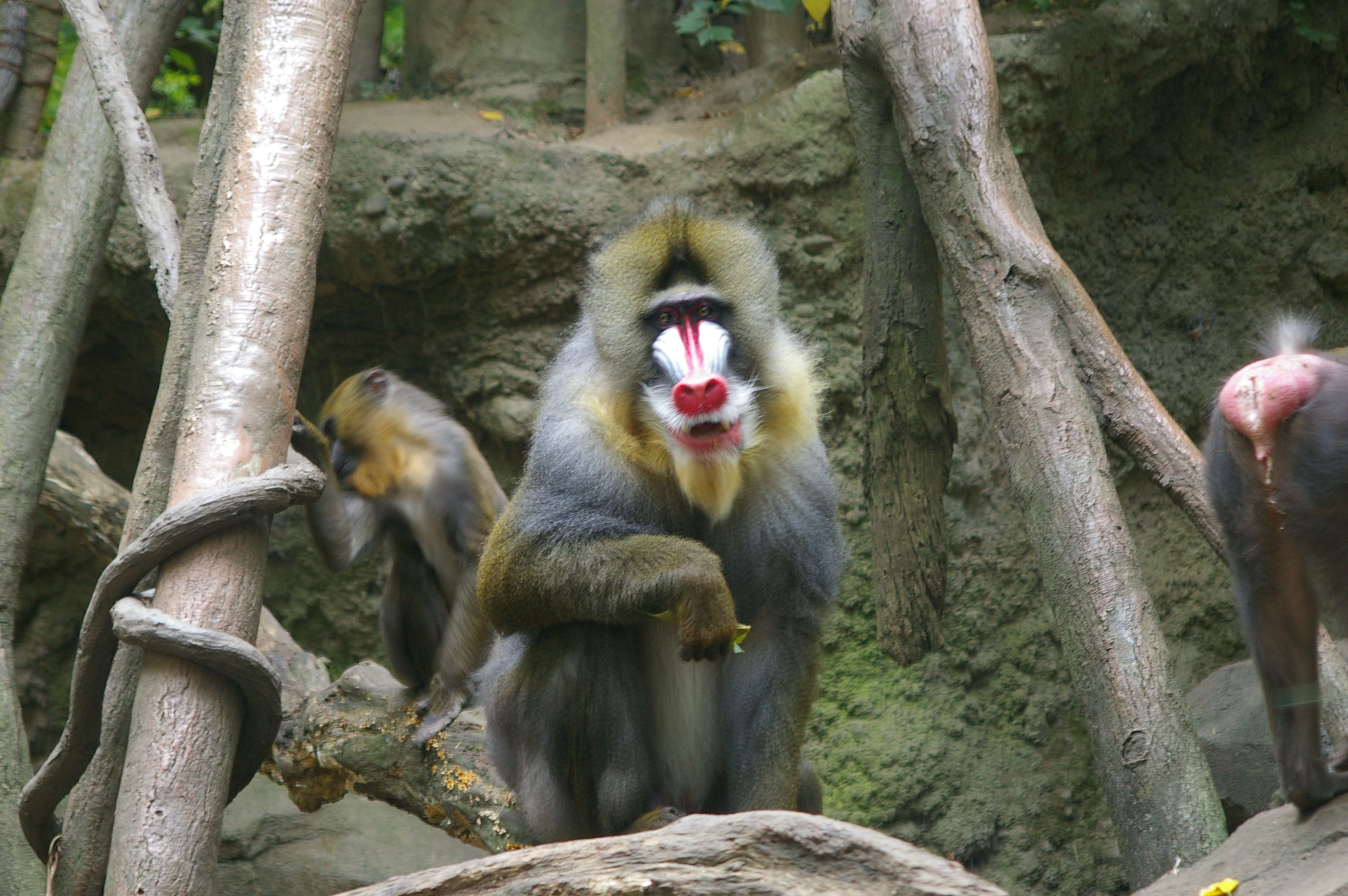 Mandrill At Bronx Zoo Congo Gorilla Forest Nature Is Awesome En