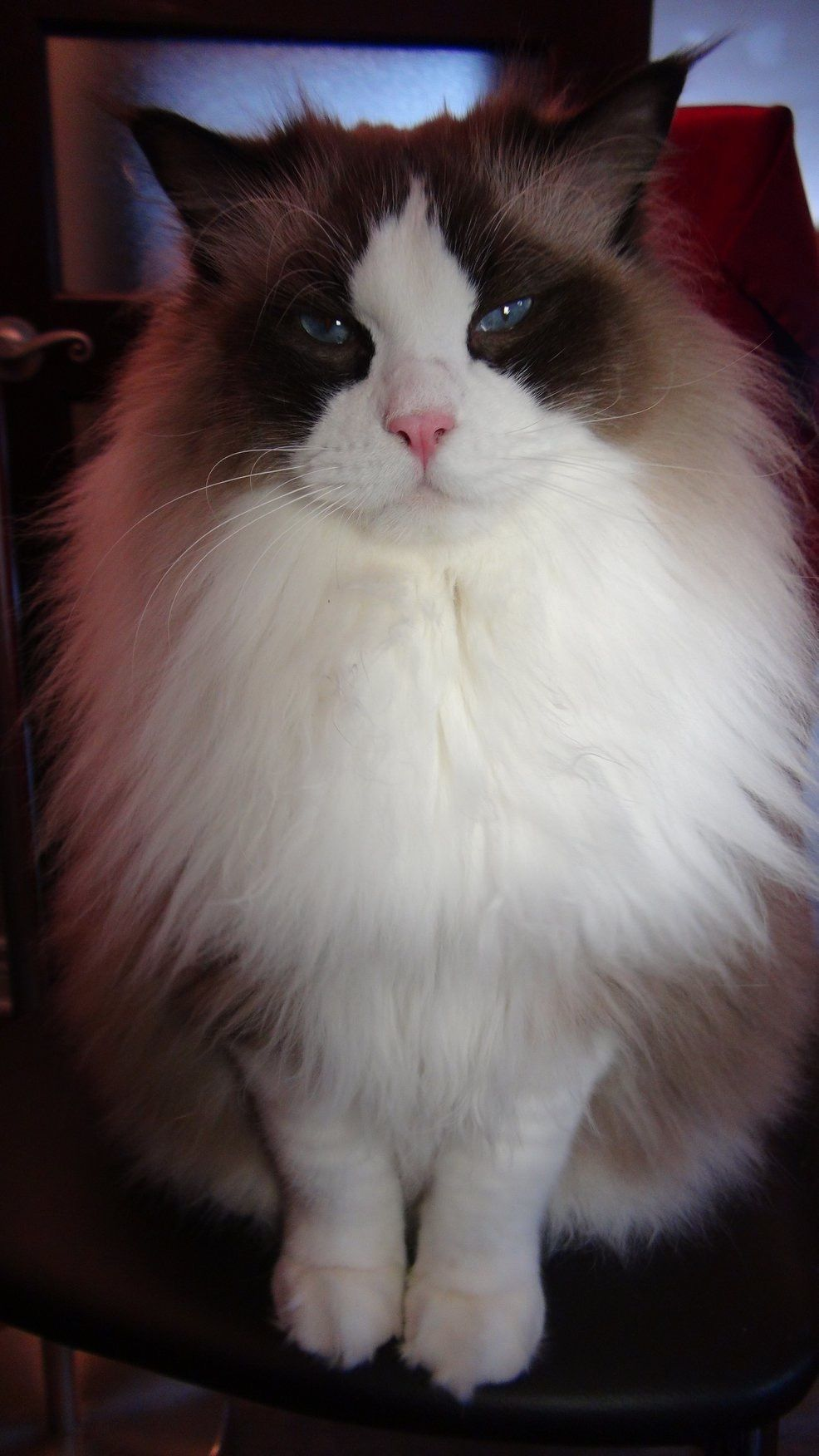 Pin By Claud On Ragdolls Beautiful Cats Cats Cat Love