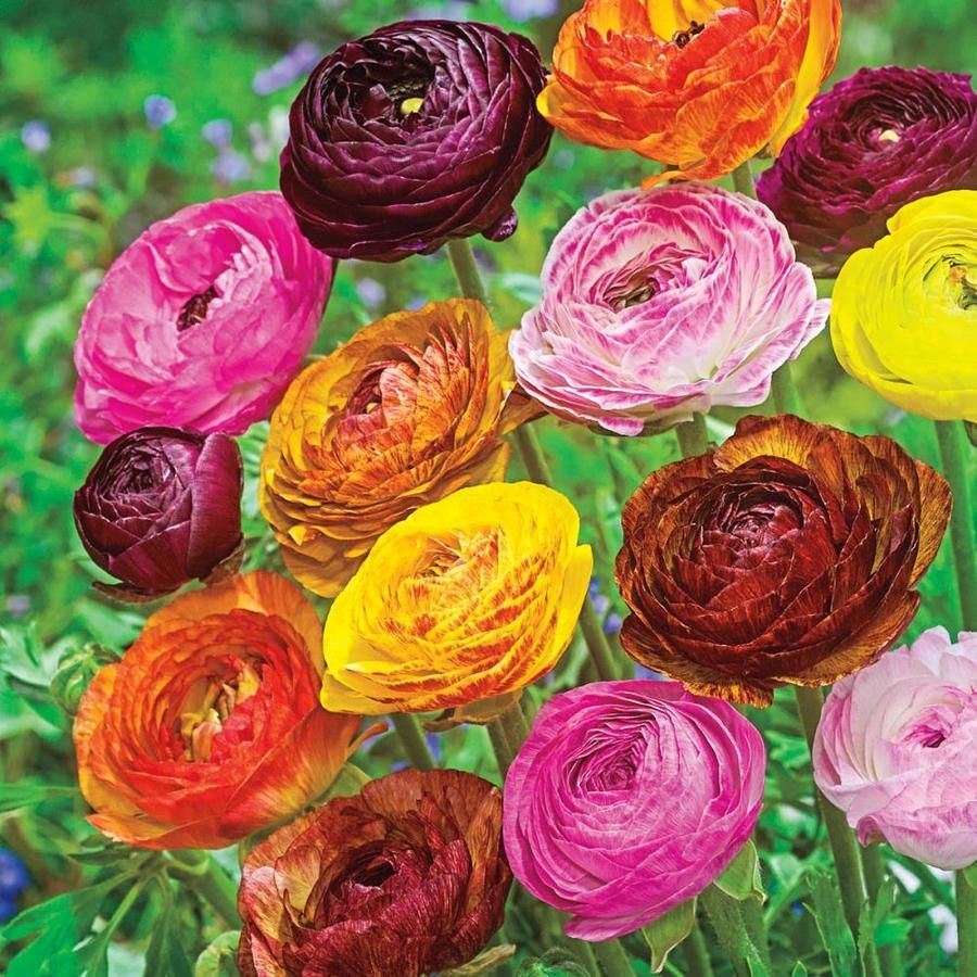 Breck S 25 Pack Ranunculus Mixed Bulbs Lowes Com In 2020 Multi Colored Flowers Flowers Rose Like Flowers