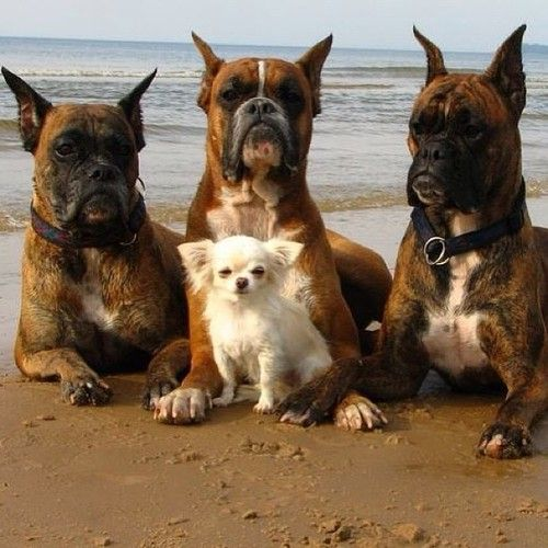 hey where did this little guy come from boxer biodiversite chiens chats poules. Black Bedroom Furniture Sets. Home Design Ideas