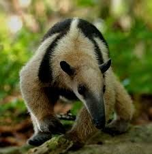 This cousin to the raccoon, the Tejon, is native to the