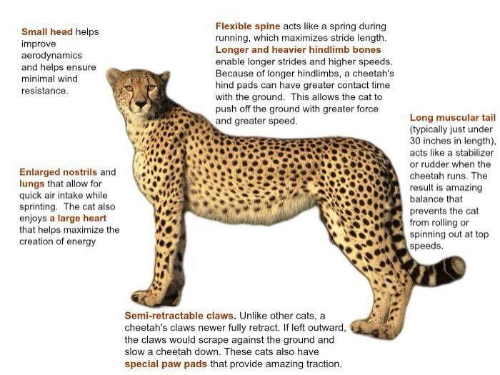cheetah african and asian