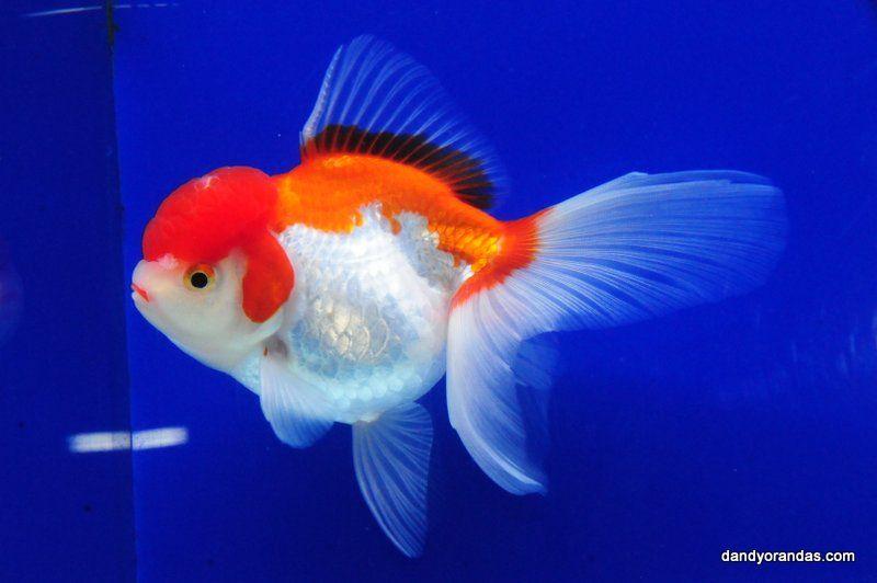Red White Oranda Dandyorandas Com Red And White Red Fish Pet